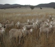 Ewes grazing only native pastures had lower weaning percentages than those that also had access to oats and lucerne