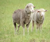 Merinos joined to terminal sires were compared to Coopworth systems