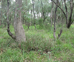 Remnant Box Gum Grass Woodlands