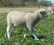 120% weaning consistently achieved by Merinos grazing perennials.