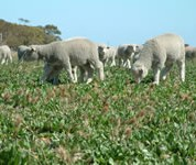 Perennials enabled lambs to be finished on green feed.