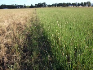 Phalaris (right) was more productive under waterlogged conditions than cocksfoot (left)