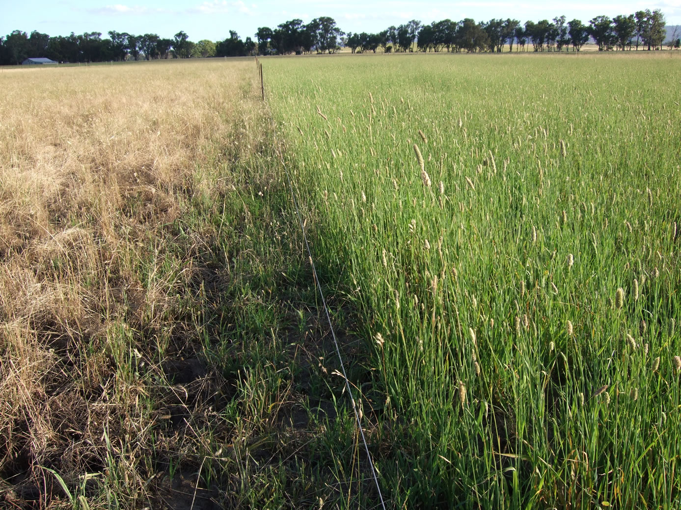 Figure 4. Phalaris thrived in waterlogged environment while Uplands struggled (Nov 2011)