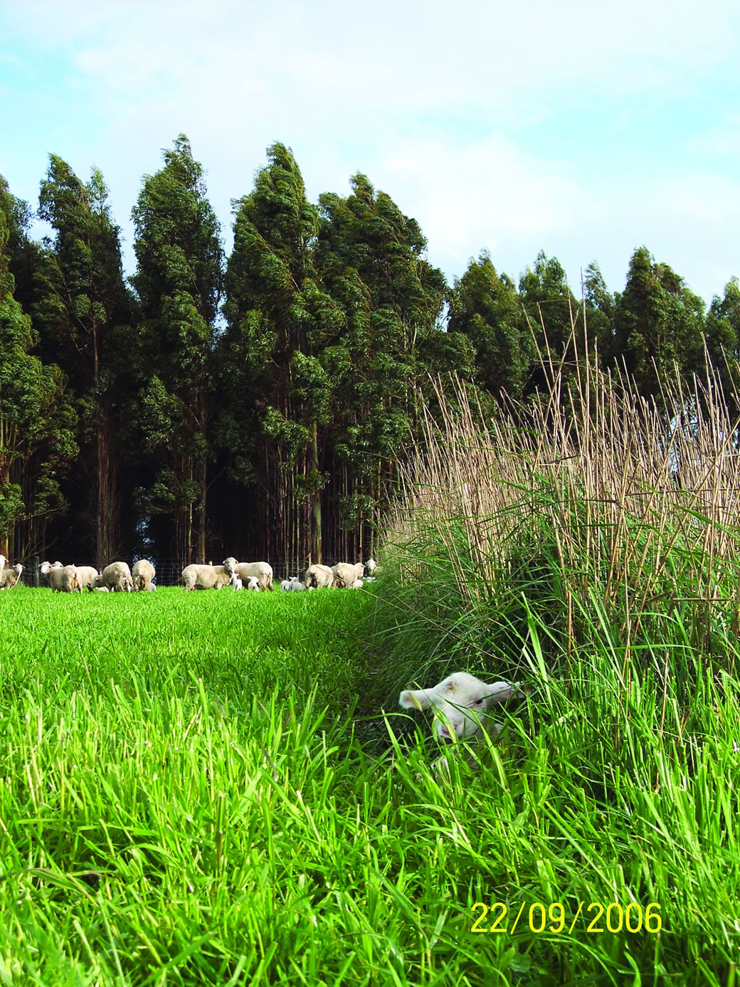 Lamb sheltering in the tall wheatgrass hedge rows