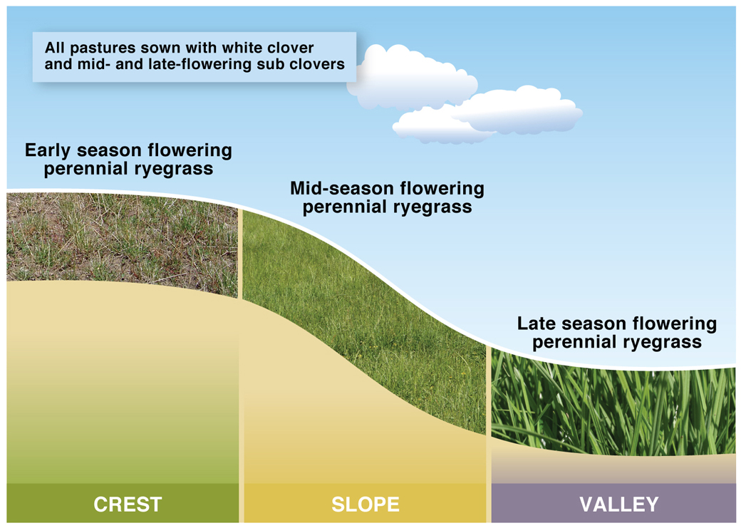 Figure 1. Early, mid and late flowering perennial ryegrass used for the crest, slope and valley at Hamilton EverGraze Proof Site.