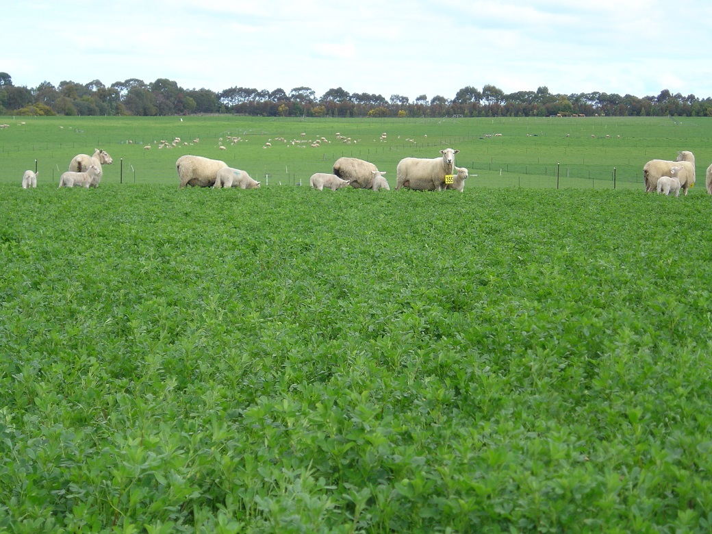 Coopworth/composite ewes and lambs on lucerne at the Hamilton EverGraze Proof Site, 30/9/2008.