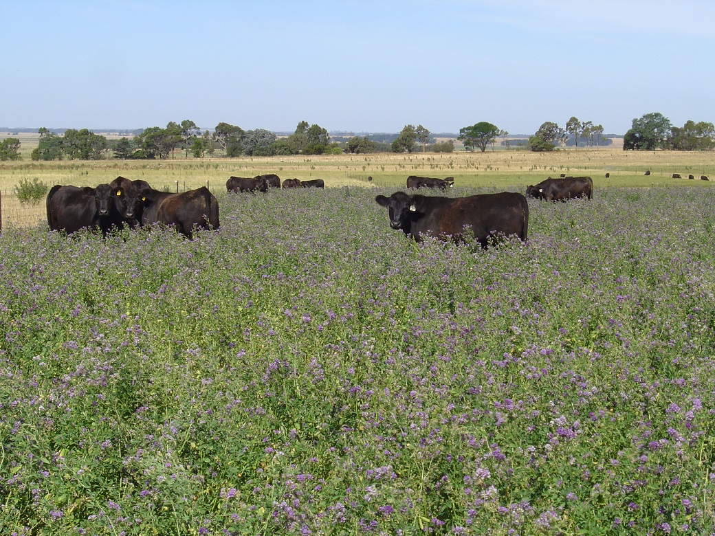 Cattle grazing lucerne at the Hamilton EverGraze Proof Site 2/1/2008.