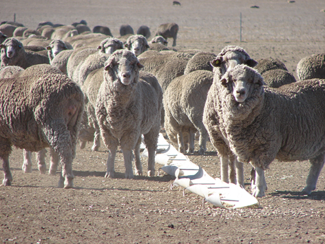 In summer 2007, sheep were removed from the perennial ryegrass treatment and put into containment