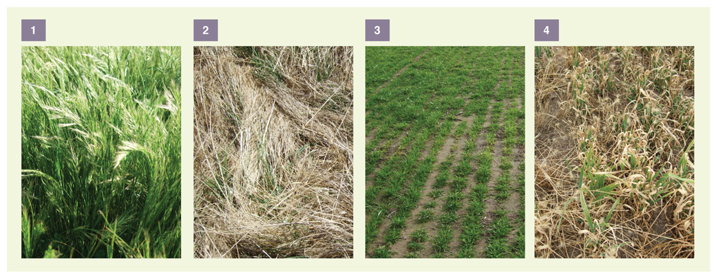 Figure 2. Silver grass burden at Longwood, October 2009 (1) and February 2010 (2); and contrasting clean paddocks at Euroa October 2009 (3) and February 2010 (4)