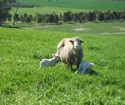 Flushing on green feed increases lamb marking percentages