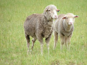 Merinos were joined to terminal sires at all sites