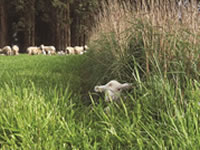Perennial grass hedges at Hamilton increased lamb survival at the average birth weight by 30%.