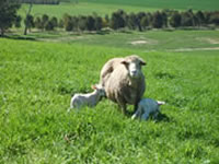 Lifetimewool guidelines for ewe condition were used on all sites.
