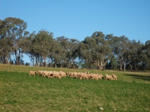 Flushing ewes on lucerne increased lambs marked by 10% at Wagga Wagga Proof Site.