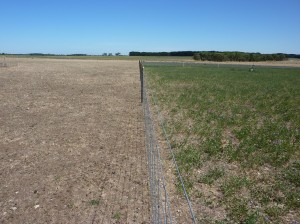 Lucerne (right) and Fitzroy Ryegrass at Hamilton Proof site summer 2007