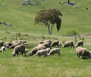 Native pasture composition did not vary between grazing systems