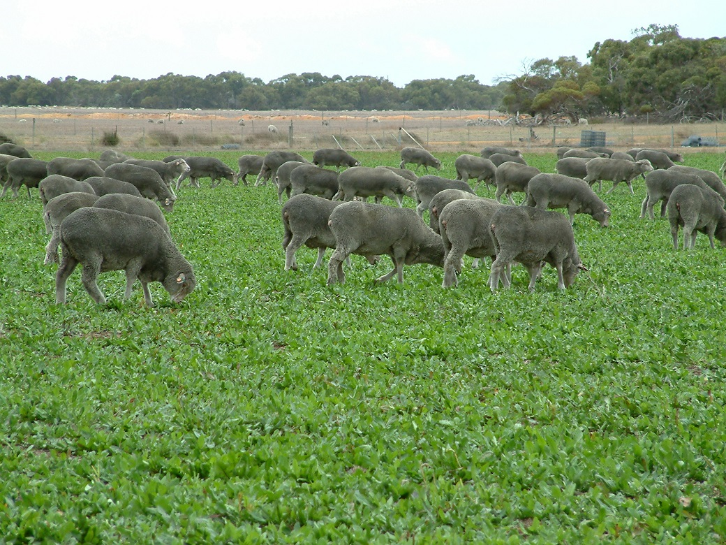 Ewes grazing chicory at Albany Proof Site