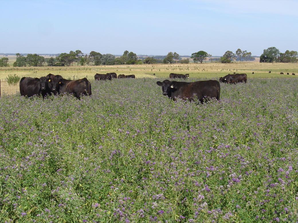 Cattle grazing lucerne at the Hamilton Proof Site