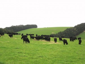 Cattle are commonly fed hay over winter to boost the feed gap