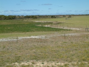Deep sandy soils sown to chicory (left) and kikuyu (right) protected from wind erosion.