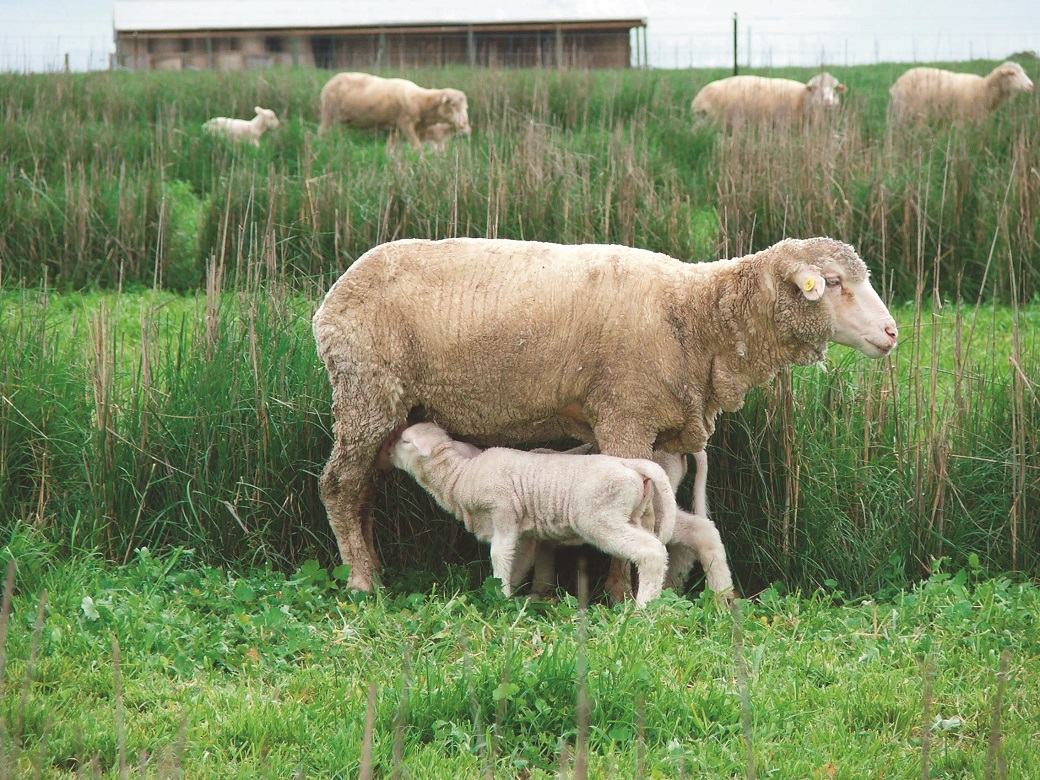 Twin lambs suckling by the hedges at Hamilton EverGraze Proof Site