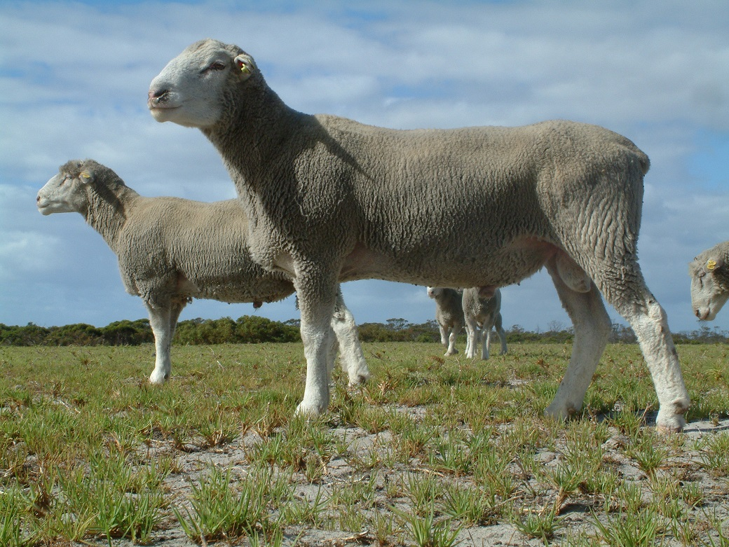 Twins born to a Merino ewe sired by EBV selected Poll Dorset rams on the Wellstead Proof Site
