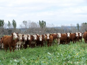 Cattle on fodder crop