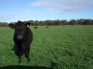 """Vanessa Ingram-Daniel's Weaner cattle grazing the annual ryegrass """"cleanup"""" pasture at Marlo Supporting Site"""