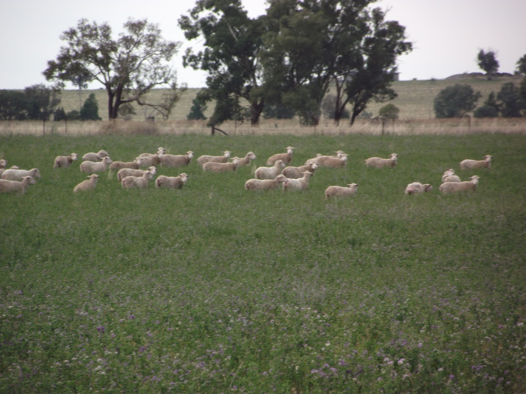 Ewes grazing green lucerne for one week prior to joining and for the first week of joining resulted in 14% more lambs born