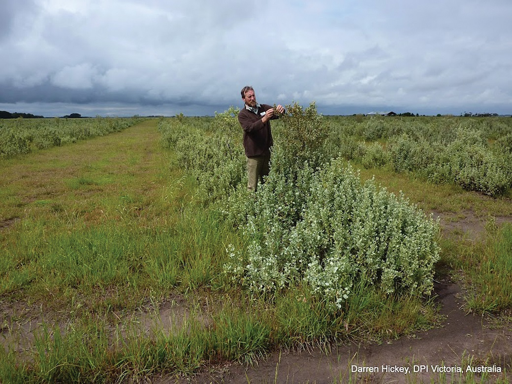 John Bowman, DPI Victoria, inspects saltbush at Rick Robertson's Bengworden Supporting Site