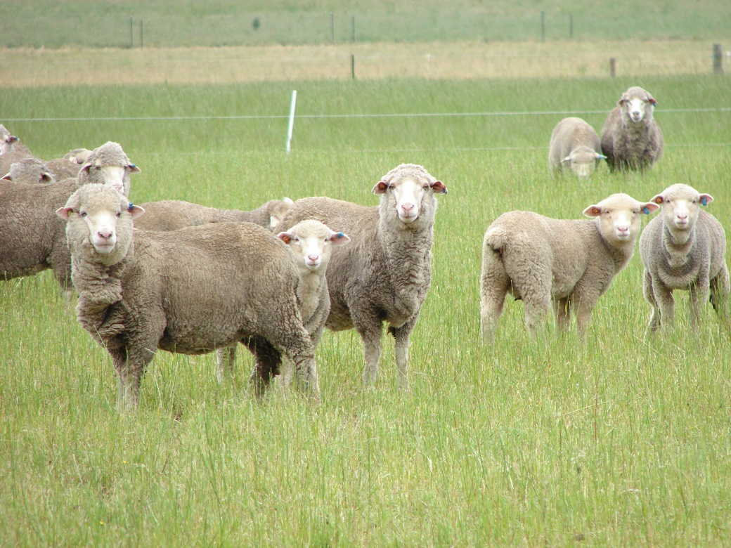 Ewes and lambs grazing on perennial ryegrass at Hamilton EverGraze Proof Site