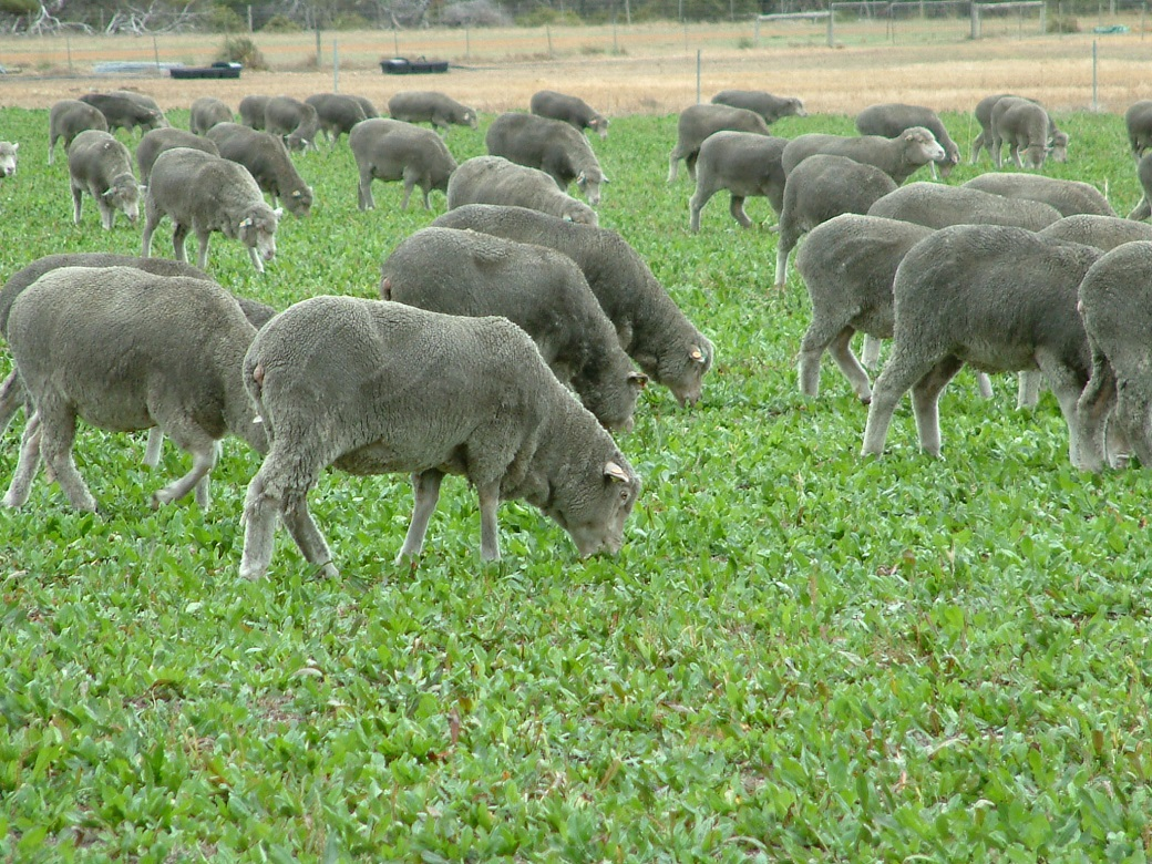 Chicory is a high quality feed scource able to increase ewe condition score in autumn.