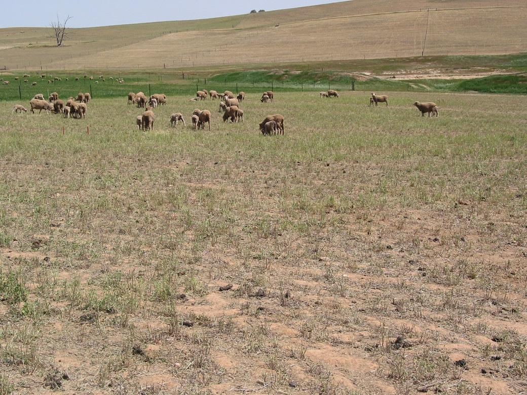 In dry years lucerne provided some extra grazing days compared to phalaris and fescue, but spring growth rates were poor (13 Oct 2006)