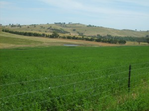 Lucerne, planted on red chromosol mid-slopes at Wagga Wagga persisted for more than eight years.
