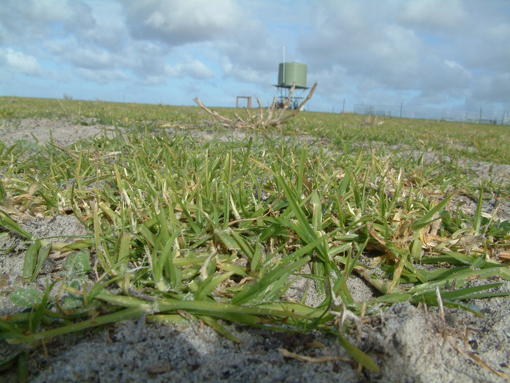Kikuyu plays an important role in maintaining ground cover and providing out-of-season feed for maintenance of ewes.