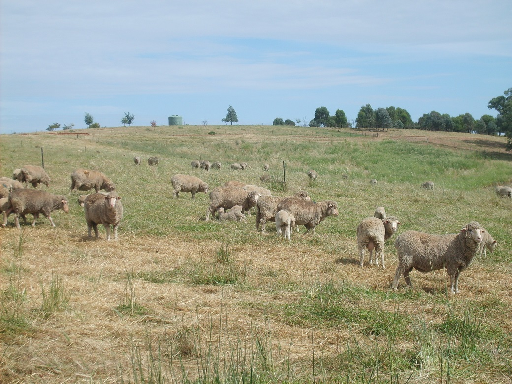 Phalaris pastures mature in spring and their nutritive value for lambs declines