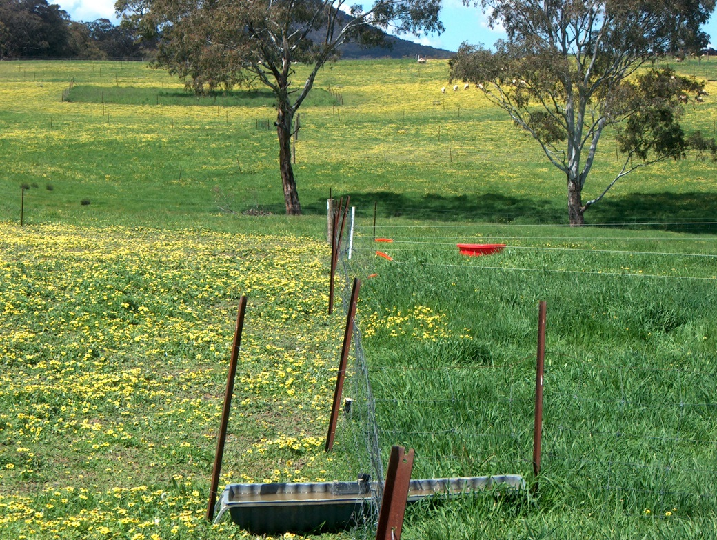 Capeweed and sub clover dominated the continuous grazed plots (left) whereas intensive rotation plots were made up of phalaris and sub clover (right). Both treatments had similar amounts of annual grasses such as barley grass.