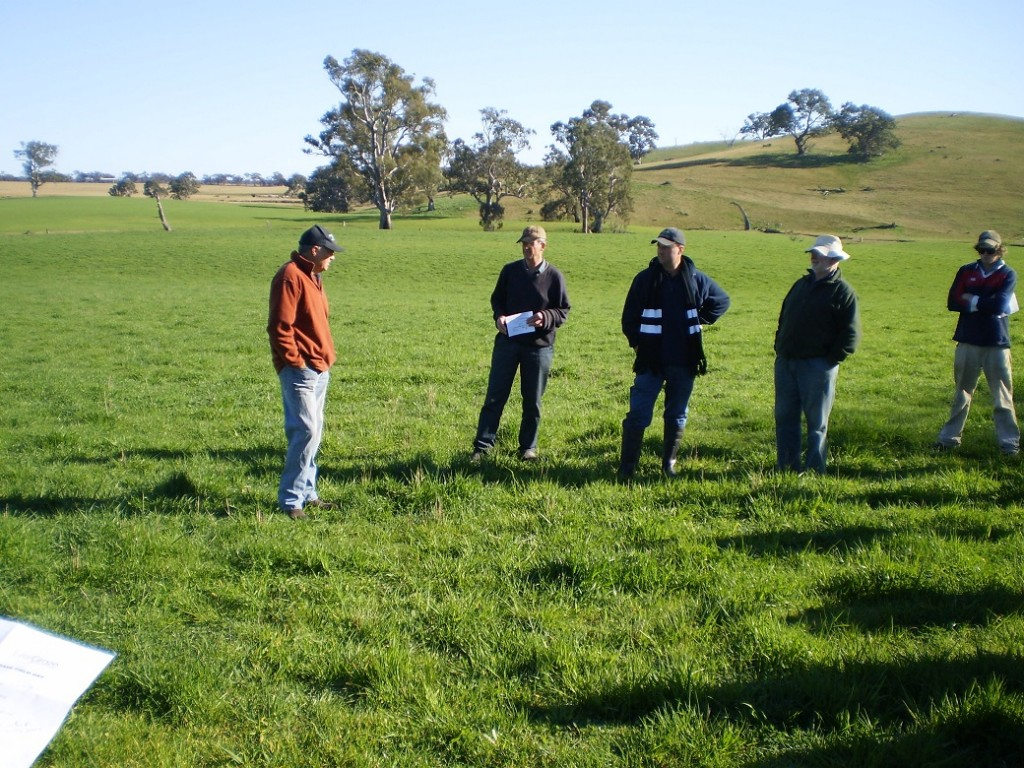 Phalaris, October 2010.  The carrying capacity of the phalaris paddock doubled with the pasture improvement program.