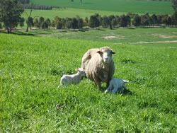 Ewes with twins