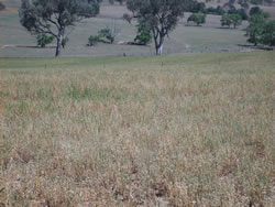 Flushing was achieved with as little as 300 kg/ha of green lucerne available at Wagga Wagga Proof Site