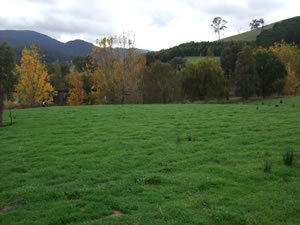 High productivity pastures fertilised and managed to finish lambs and meet condition targets of ewes