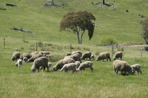 The Orange Proof Site demonstrated that higher returns could be made from native pastures by fertilising according to production zone, running a higher value enterprise (Merino x Terminal) and lifting stocking rates using rotational grazing.