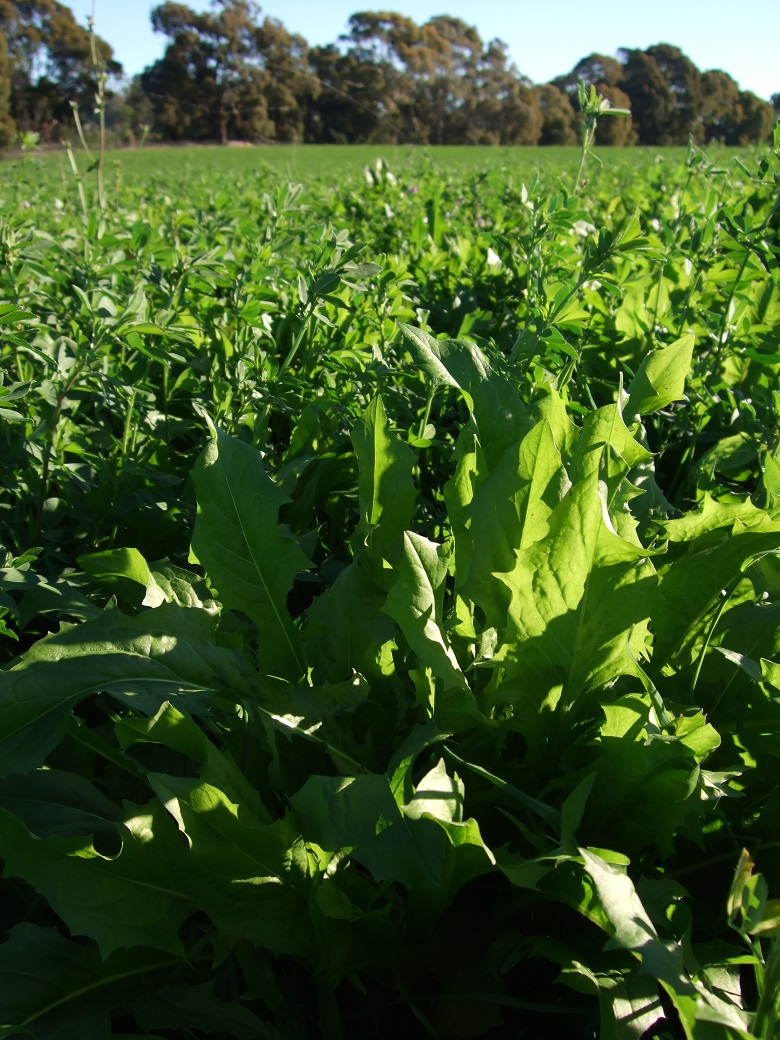 Chicory/lucerne mix