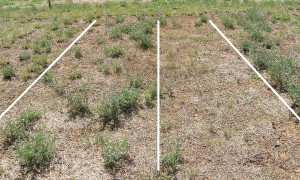 Figure 3. Lucerne (cv. Genesis) showing differences in established plant population when sown in autumn (left) or spring (right).