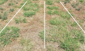 Figure 4. Digit grass (cv. Premier) showing differences in established plant crown size and population when sown in autumn (left) or spring (right).