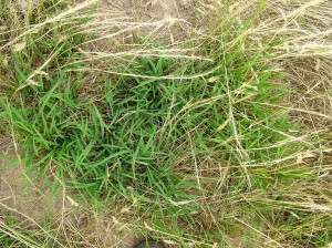 The prostrate growth nature of Microlaena and underground growth point makes it tolerant of heavy grazing.