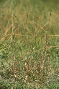 Red grass (Bothriochloa macra)