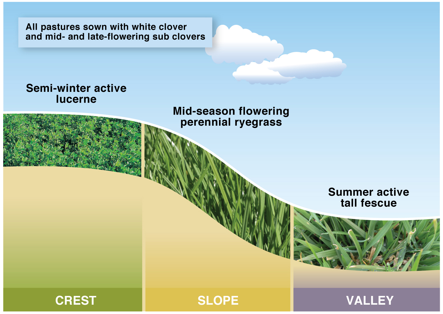 Figure 1. Triple system at Hamilton EverGraze Proof Site showing rooting depth of lucerne, tall fescue and perennial ryegrass.