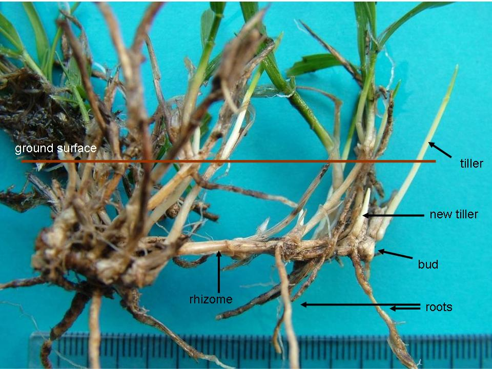Location of rhizomes, new buds and corm of Microlaena