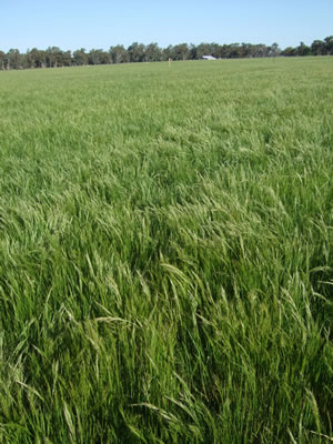 New tall fescue pastures at the Euroa Grazing Demonstration. The photo shows heavy silver grass and barley grass invasion from lack of preparation in the years prior to sowing.
